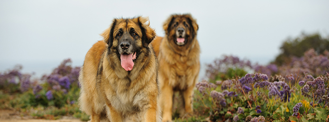 two leonbergers gazing at camera