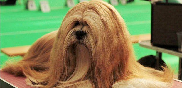 lhasa apso with long hair