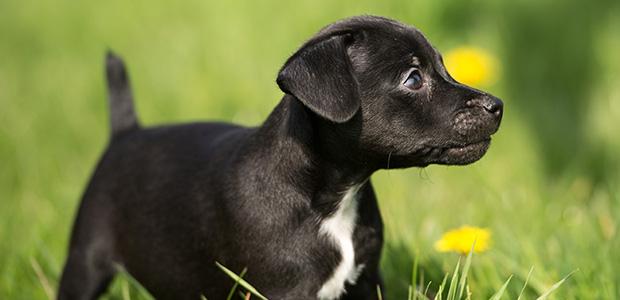 patterdale terrier puppy in spring grass