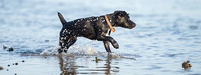 patterdale terrier running through water