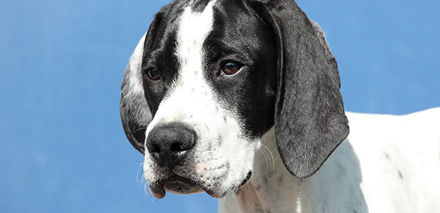 black and white pointer close up