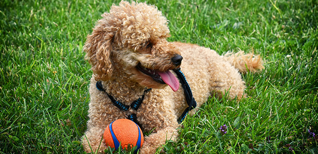 poodle lying on grass with tongue out and orange ball