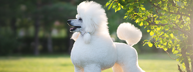 poodle running on grass
