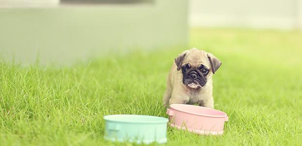 pug puppy on grass