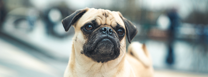 pale coloured pug with black snout