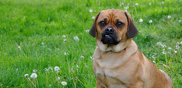 puggle and dandelions in grass