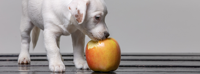 little puppy eating an apple
