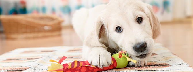 labrador puppy chewing on toy in living room