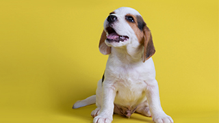 beagle puppy on yellow background