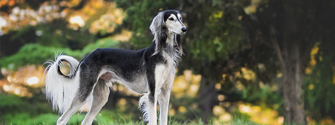 saluki standing in front of trees