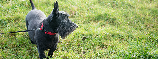 Scottish terrier on green fresh grass