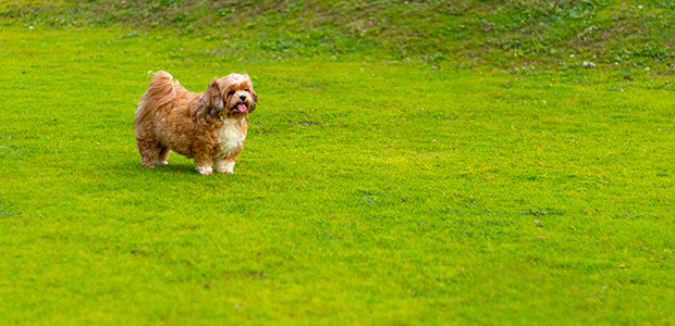 brown shih tzu on field