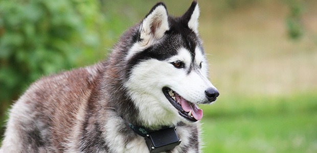 husky with tongue out