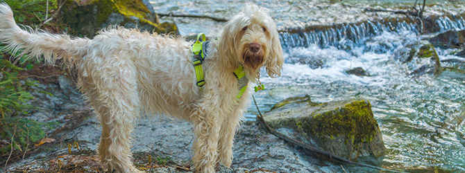 spinone italiano by waterfall