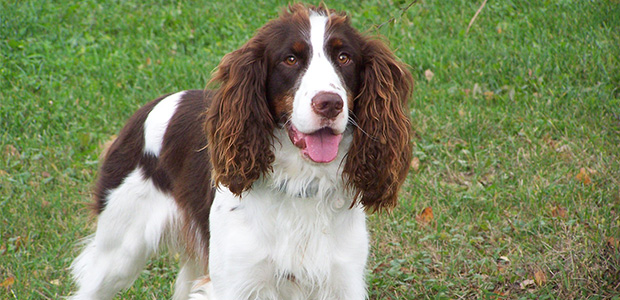 springer spaniel with floppy ears