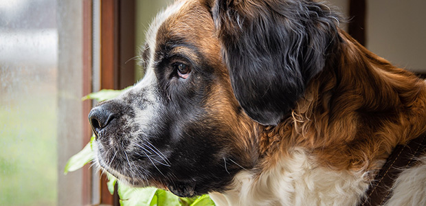 st bernard looking out of window