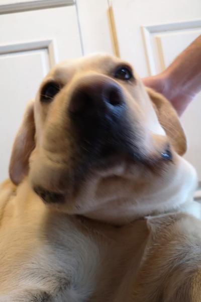 close-up of labrador's swollen head after adder bite