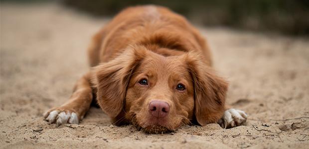 dog lying down on sand