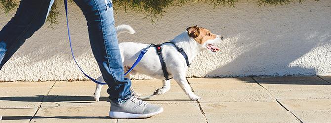 jack russell walking on lead beside owner