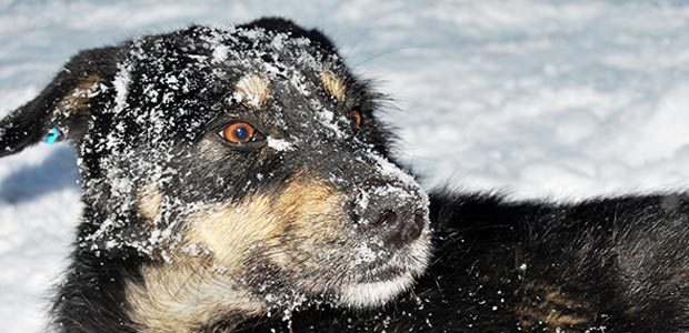 dog in snow with a tense jaw