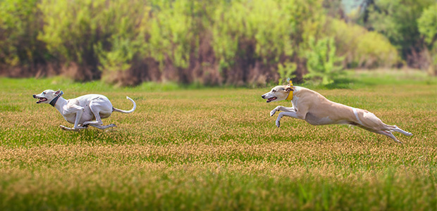two whippets running in field