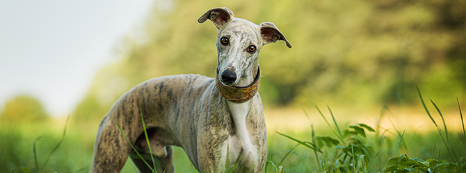 brindle and white whippet in field
