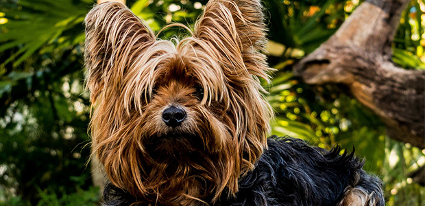 long-haired yorkie