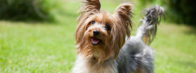yorkie on green grass