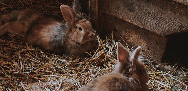 2 bunnies on a bed of straw