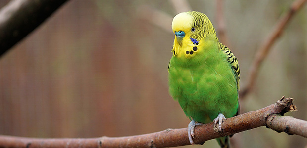 green budgie on perch