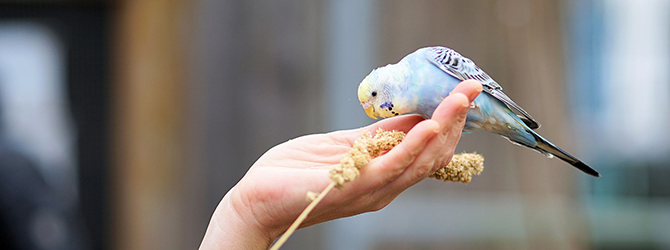 budgie eating out of a human hand