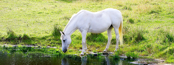 white horse drinking from lake
