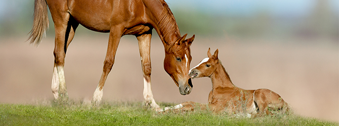 a mare tending to her foal