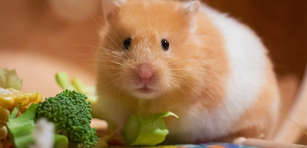 hamster and vegetables