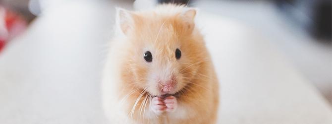 very cute hamster