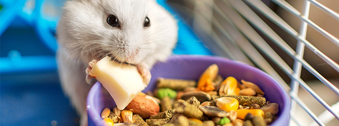 white hamster eating food out of bowl
