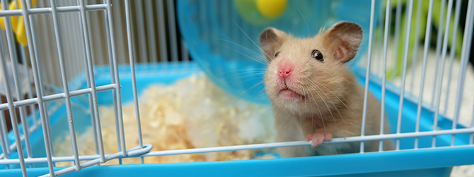 hamster peering out of cage
