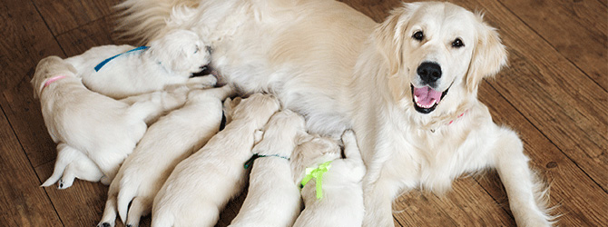 Finding a good puppy breeder