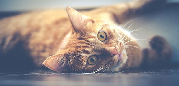 ginger cat looking at camera