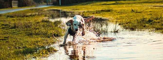 dog running through pond