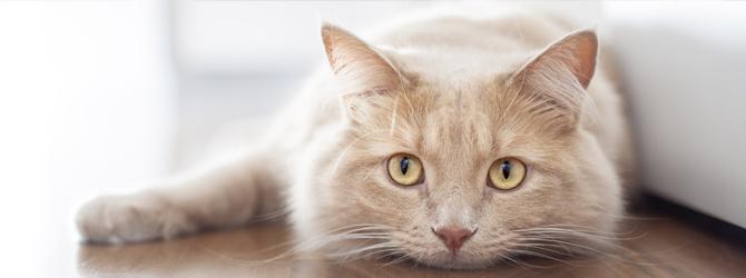 Ginger cat lying on wood floor, looking sad